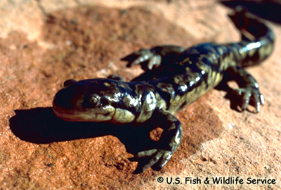 Tiger Salamander. © U.S. FIsh and Wildlife Service