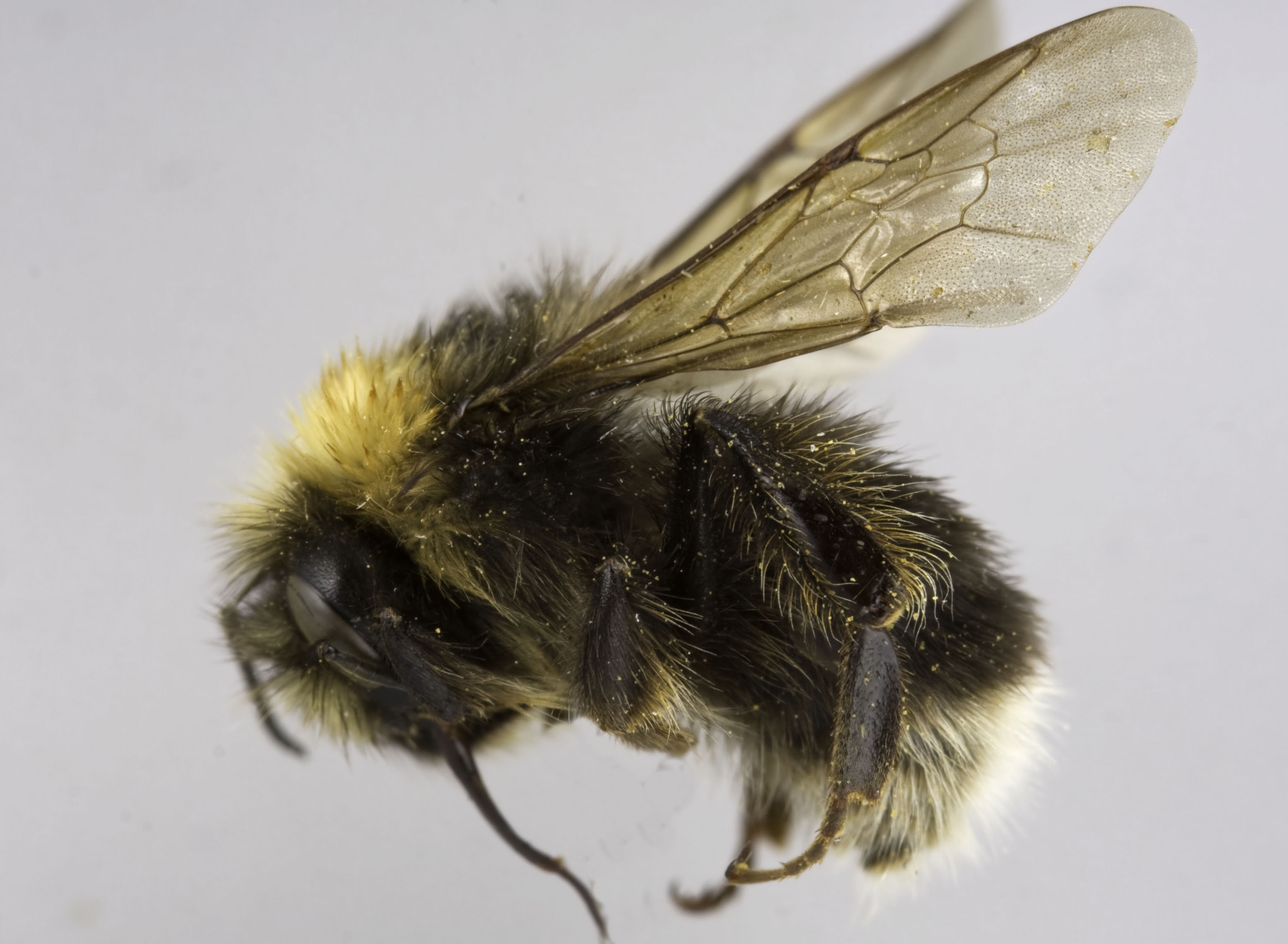 Giant bumble bee pictures Bee Stings - how honey bees and bumblebees sting