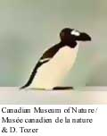 Great Auk Photo 1