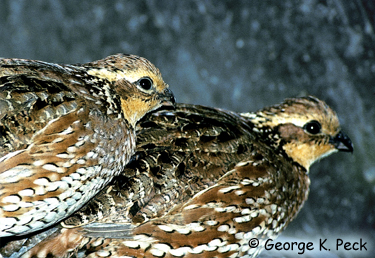 Northern Bobwhite Photo 3