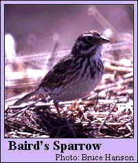 Baird's Sparrow Photo 1