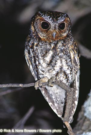 Flammulated Owl Photo 1
