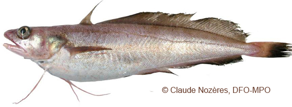 White Hake Photo 1
