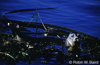 Harbour Seal Lacs des Loups Marins subspecies Photo 1