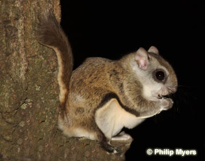 Southern Flying Squirrel Photo 1