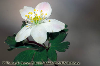 False Rue-anemone Photo 1