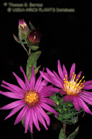 Western Silvery Aster Photo 1