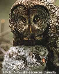 Great Grey Owl Photo 1