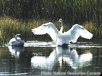 Cygne trompette Photo 1