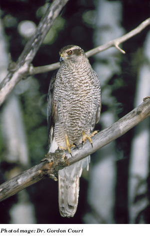 Northern Goshawk atricapillus subspecies Photo 1