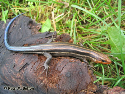 Five-lined Skink Photo 1