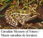 Northern Leopard Frog Photo 1