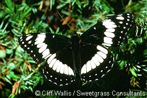 Weidemeyer's Admiral Photo 1