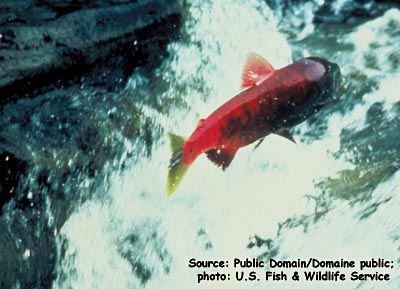 Sockeye Salmon Photo 1