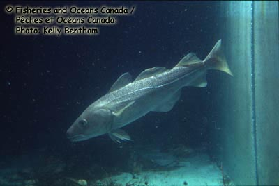 Atlantic Cod Photo 1