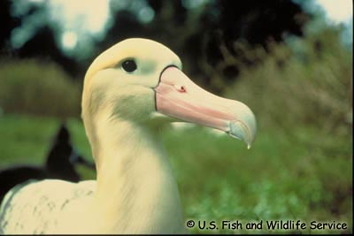 Short-tailed Albatross Photo 1